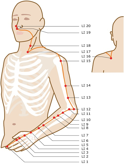 Acupuncture Meridian - Large Intestine